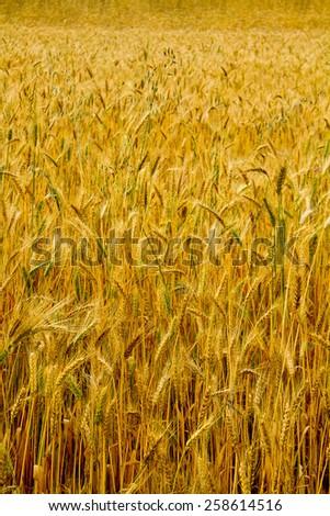 barley plantation in the andean regions of Ecuador - stock photo