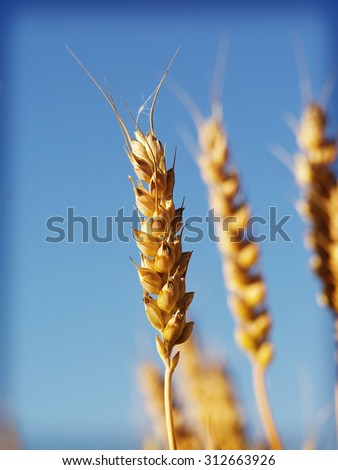 Barley with a vintage twist. Image is taken from low point of view against a blue sky. Image also has a vintage effect and some grain applied to create some artistic angle to the simple image. - stock photo