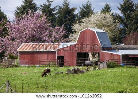 Barn and calf grazing, Woodland WA. - stock photo
