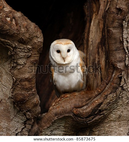 Barn Owl - stock photo