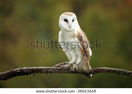 Barn Owl against a blurred background. - stock photo