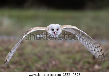 Barn Owl flying - stock photo