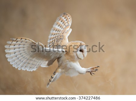 Barn owl in flight before attack, clean background, Czech Republic - stock photo