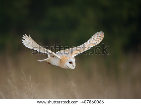 Barn owl in flight, with open wings, clean background, Czech Republic, Europe - stock photo