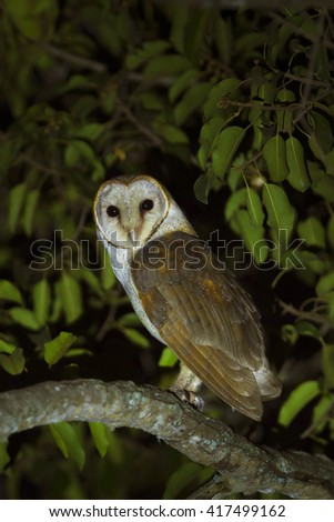 Barn Owl in the nature. - stock photo