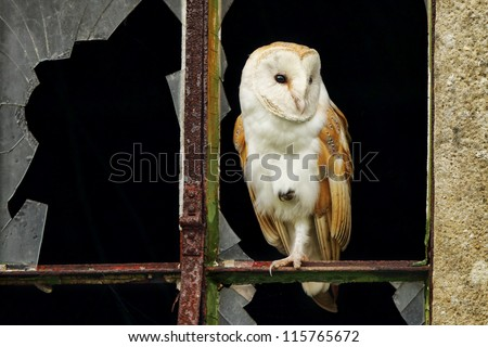 Barn Owl In Window With Broken Glass Perched Stock Photo
