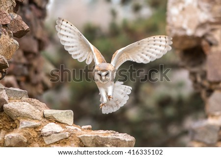 Barn owl landing on a piece of masonry, with coniferous trees in background - stock photo
