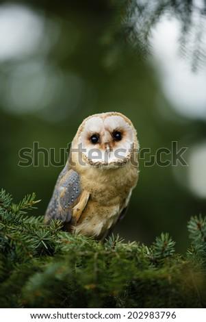 Barn Owl on tree branch - stock photo