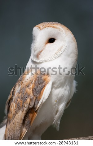 Barn Owl perched on a branch