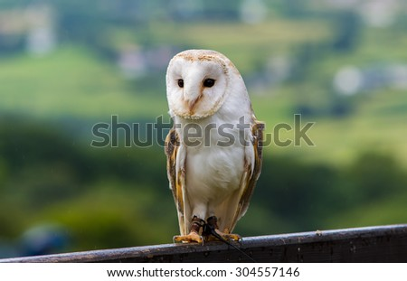 Barn Owl perched on a fence
