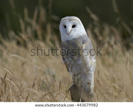 barn owl perched watching for prey