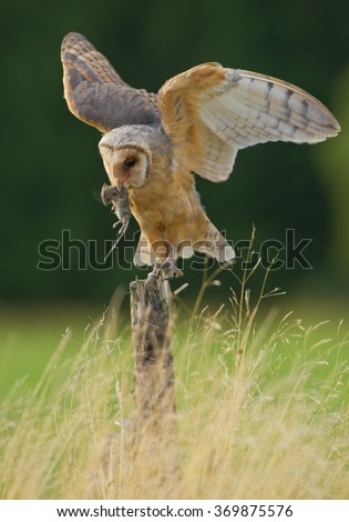 Barn owl sitting on the branch, feeding on mouse prey, with clean green background, Czech Republic - stock photo