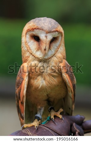 barn owl sitting on the falconer glove - stock photo