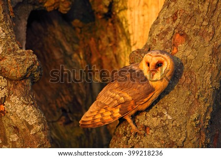 Barn owl sitting on tree trunk at the evening with nice light near the nest hole, bird in the nature habitat, hidden in the tree, France - stock photo