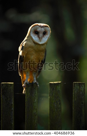 Barn owl sitting on wooden fence with dark green background, bird in habitat, Slovakia, Central Europe  - stock photo