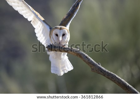 Barn owl spreading its wings. - stock photo