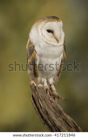 barn owl, studio portrait with blurred background