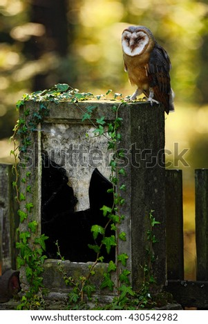 Barn owl, Tito alba, Nice bird sitting on stone headstone in forest cemetery, nice blurred light green the background, animal in the habitat, United Kingdom. Barn owl in forest sitting on the stone. - stock photo