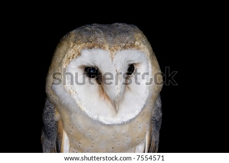 Barn Owl (Tyto alba) - landscape orientation - stock photo
