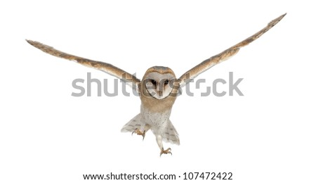 Barn Owl, Tyto alba, 4 months old, portrait flying against white background - stock photo