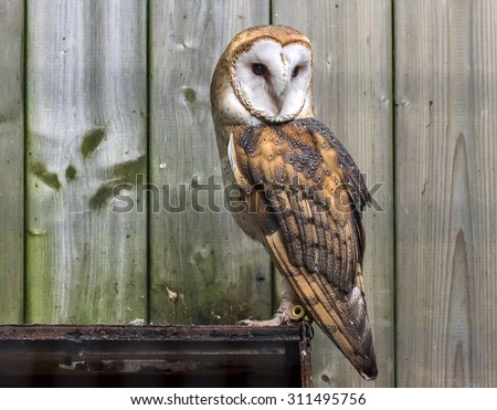 Barn Owl, Tyto alba, perched in front of old wood planks - stock photo