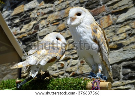 Barn owls Latin name Tyto alba - stock photo
