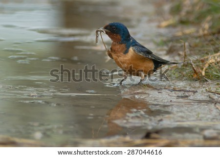 Barn Swallow collecting nesting material from a muddy puddle. - stock photo