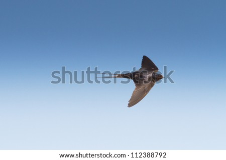 barn swallow in flight against the deep blue sky / Hirundo rustica - stock photo