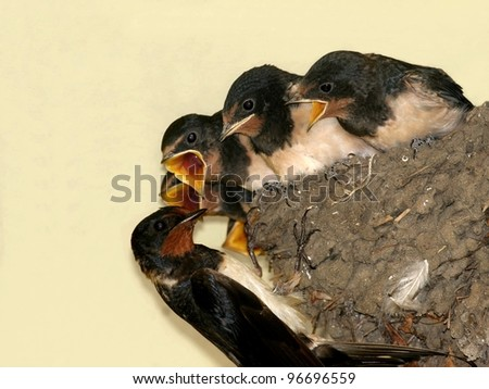 Barn swallow, nest with chicks - stock photo