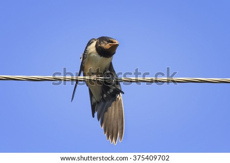 barn swallow on wires in the sky spreading its wings - stock photo