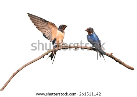 Barn Swallow perched on a dead branch isolated on white background - stock photo