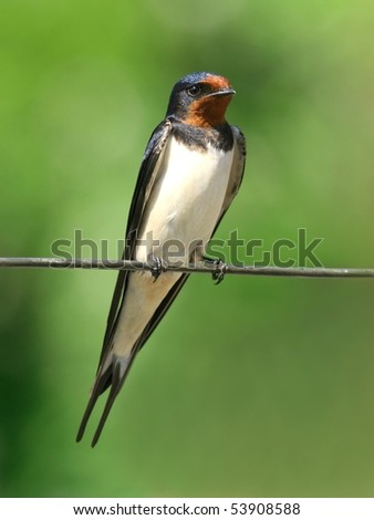 Barn swallow  perched on a wire, against green background, at short distance - stock photo