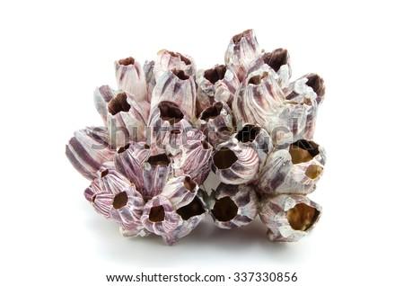 barnacle seashell isolated on white background - stock photo