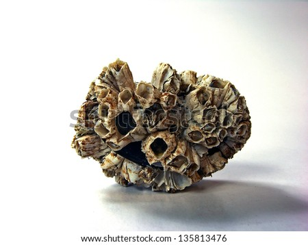Barnacles stuck to rock closeup - stock photo