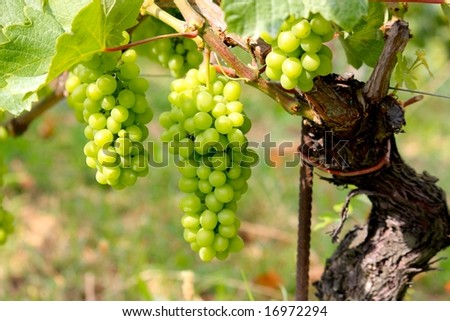 Barolo grapes in Italy - stock photo