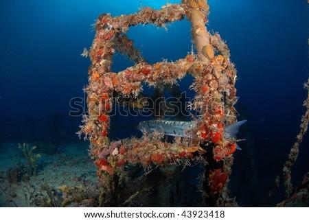 Barracuda hiding on wreck - stock photo