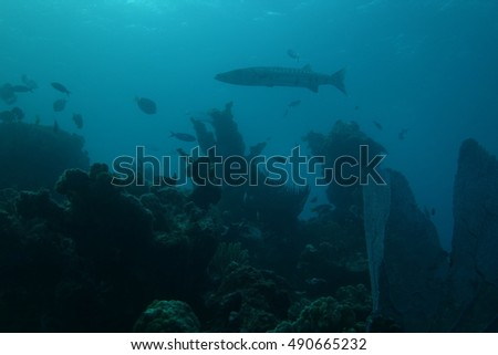 Barracuda underwater