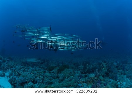 barracuda underwater picture Sudan Red sea diving safari