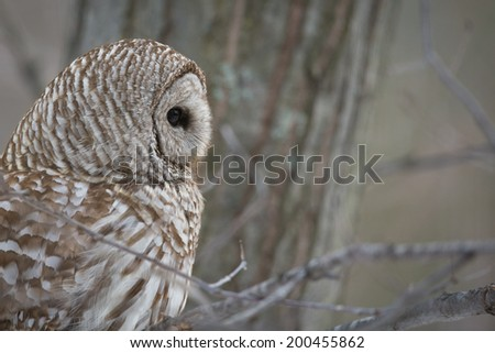 Barred Owl - in the forest in winter.  Looking right, into the frame. - stock photo