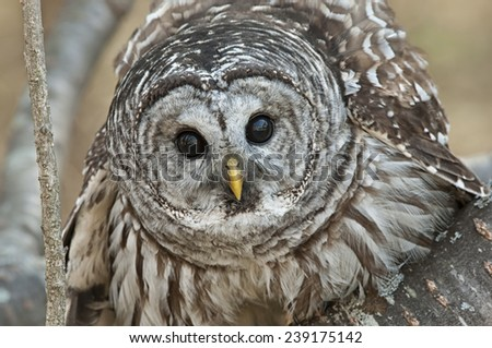 Barred Owl in Tree - stock photo