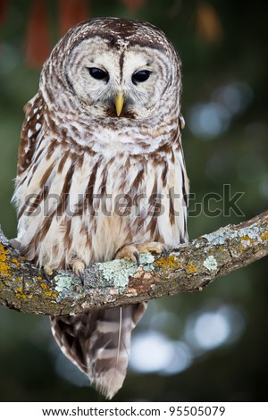 Barred owl perched on a lichen covered branch - stock photo