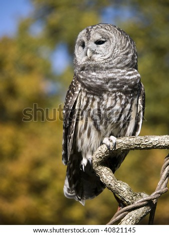 Barred Owl (Strix Varia) sitting on an interesting tree branch. It's autumn and the tree's leaves are golden yellow. - stock photo