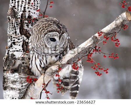 Barred Owl with head turned - stock photo
