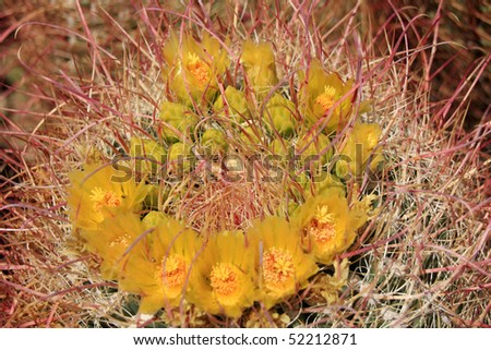 Barrel Cactus flower in the Anza Borrego Desert - Genus Ferocactus - stock photo