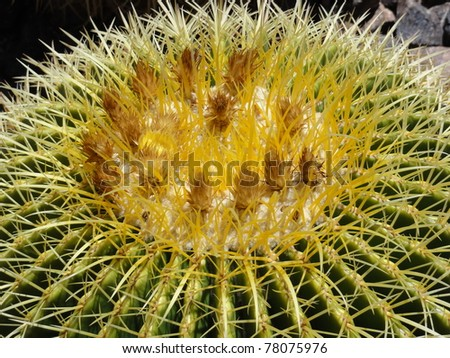 Barrel cactus with some buds before blooming - stock photo