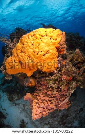 Barrel sponge and elephant ear sponge in deep water - stock photo