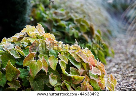 barrenwort with frost on the leaves - stock photo