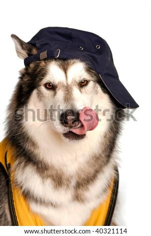 Baseball loving husky acting cute - stock photo