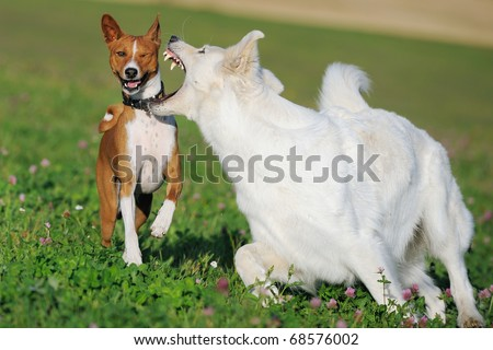 Basenji and White German Shepherd in the play in the spring on the meadow in  show fight Weißer Schweizer Schäferhund Berger Blanc Suisse - stock photo