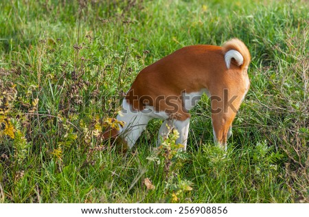 Basenji dog hunting for rodent in burrow - stock photo